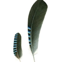 Ghiandaia – penne, Jay - feathers - Garrulus glandarius