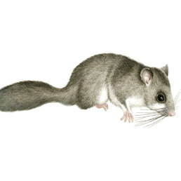 Ghiro, Edible Dormouse - Glis Glis