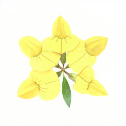 Ginestrino, Common Bird's-foot Trefoil - Lotus corniculatus, 2011