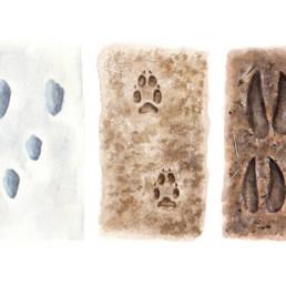 Impronte - Lepre, Volpe, Capriolo, Tracks - Hare, Fox, Roe deer
