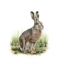 Lepre comune, European hare - Lepus europeaus