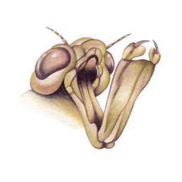 Libellula – maschera ninfa, Dragonfly - nymph mask