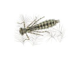 Libellula – ninfa, Emperor Dragonfly - nymph - Anax imperator