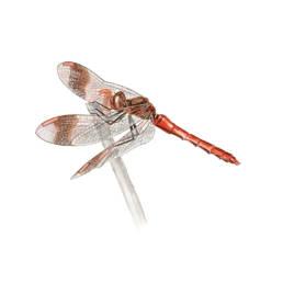 Libellula, Banded Darter - Sympetrum pedemontanum