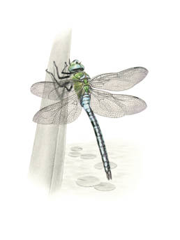 Libellula, Emperor Dragonfly - Anax imperator
