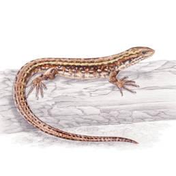 Lucertola vivipara, Viviparous Lizard - Zootoca vivipara