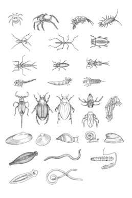 Macroinvertebrati – schema al tratto, Macroinvertebrates - outline scheme