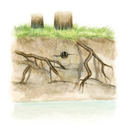 Martin pescatore – nido, Common Kingfisher - nest - Alcedo atthis
