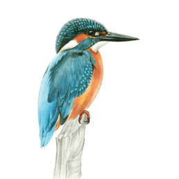 Martin pescatore, Common Kingfisher - Alcedo atthis