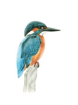 Martin pescatore, Common Kingfisher - Alcedo atthis