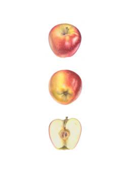 Mela 'Ambrosia', 'Ambrosia' Apple - Malus domestica 'Ambrosia', 2014