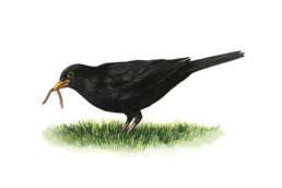 Merlo – con lombrico, Blackbird - with earthworm - Turdus merula