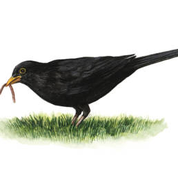 Merlo – con lombrico, Blackbird - with earthworm - Turdus merula
