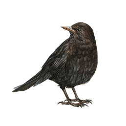 Merlo – femmina, Blackbird - female - Turdus merula