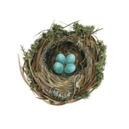 Merlo - nido, Blackbird - nest - Turdus merula