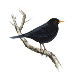 Merlo, Blackbird - Turdus merula