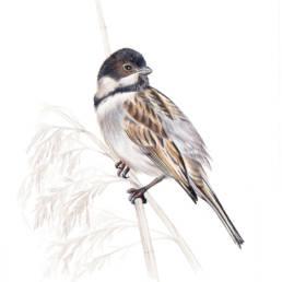 Migliarino di palude, Common Reed Bunting - Emberiza schoeniclus
