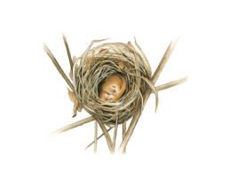 Moscardino – nido sezionato, Dormice - sectioned nest - Muscardinus avellanarius