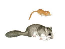 Moscardino - comparazione con Ghiro, Dormice - comparison with a Edible Dormouse - Muscardinus avellanarius