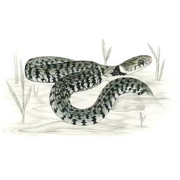 Natrice dal collare, Grass Snake - Natrix natrix