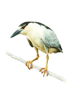 Nitticora, Night Heron - Nycticorax nycticoraxe