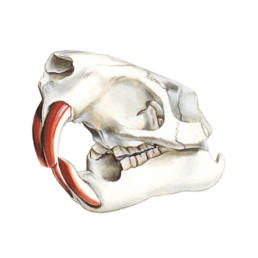 Nutria - cranio, Coypu - skull - Myocastor coypus