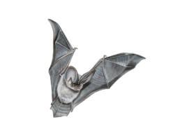 Orecchione, Brown Long-eared Bat - Plecotus auritus