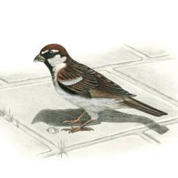 Passera d'Italia, Italian Sparrow - Passer domesticus italiae