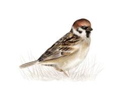 Passera mattugia, Tree Sparrow - Passer montanus