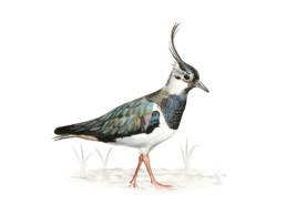 Pavoncella, Northern Lapwing - Vanellus vanellus