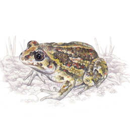 Pelobate fosco, Common Spadefoot - Pelobates fuscus