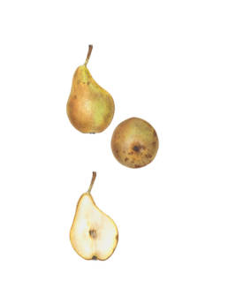 Pera 'Conference', 'Conference' Pear - Pyrus communis 'Conference', 2017 - watercolour on Fabriano 5 300g 50% cotton (HP) cm 30x40
