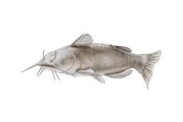 Pesce gatto, Black Bullhead - Ameiurus melas
