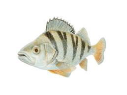 Pesce persico, European Perch - Perca fluviatilis