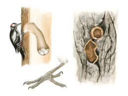Picchio rosso maggiore – dettagli, Great Spotted Woodpecker - details - Dendrocopos major