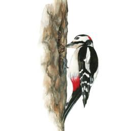 Picchio rosso maggiore - dispensa, Great Spotted Woodpecker - store - Dendrocopos major