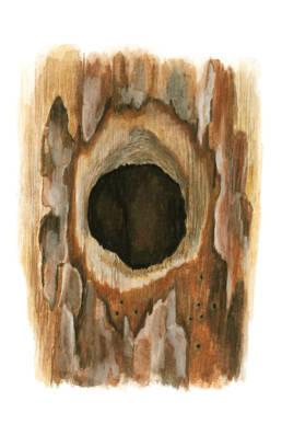 Picchio rosso maggiore - ingresso al nido, Great Spotted Woodpecker - nest entrance - Dendrocopos major