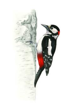 Picchio rosso maggiore, Great Spotted Woodpecker - Dendrocopos major