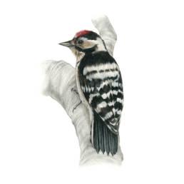 Picchio rosso minore, Lesser Spotted Woodpecker - Picoides minor