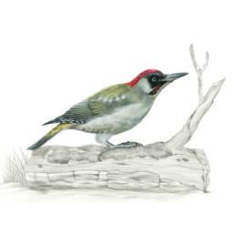 Picchio verde, Green Woodpecker - Picus viridis