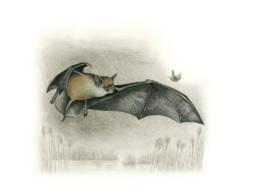Pipistrello albolimbato, Kuhl's Pipistrelle - Pipistrellus kuhlii