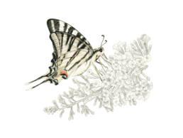 Podalirio, Scarce Swallowtail - Iphiclides podalirius