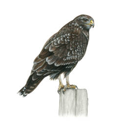 Poiana, Common Buzzard - Buteo buteo