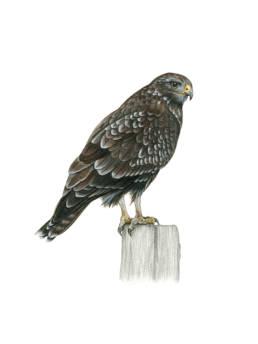 Poiana, Common Buzzard - Buteo buteo