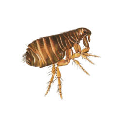 Pulce del gatto, Cat Flea - Ctenocephalides felis