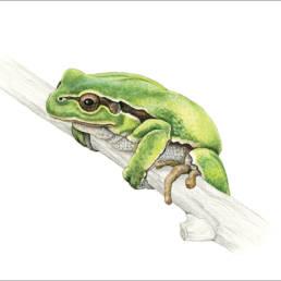 Raganella, Italian Tree Frog - Hyla intermedia