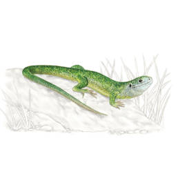 Ramarro occidentale, Western Green Lizard - Lacerta bilineata