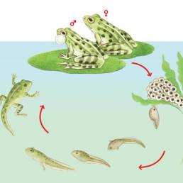 Rana – ciclo vitale Frog - life cycle