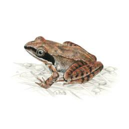 Rana agile, Agile Frog - Rana dalmatina
