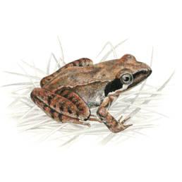 Rana di Lataste, Lataste's Frog - Rana latastei